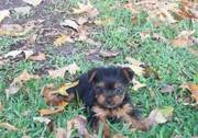 Cute Yorkshire Terrier Puppies For sale