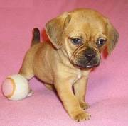 Friendly Puggle Puppies for Good Homes