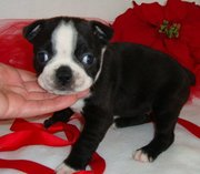 Roxie is a very sweet female boston terrier puppy.