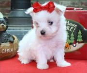 Outstanding male and female blue eyes Maltese Puppies now Available,