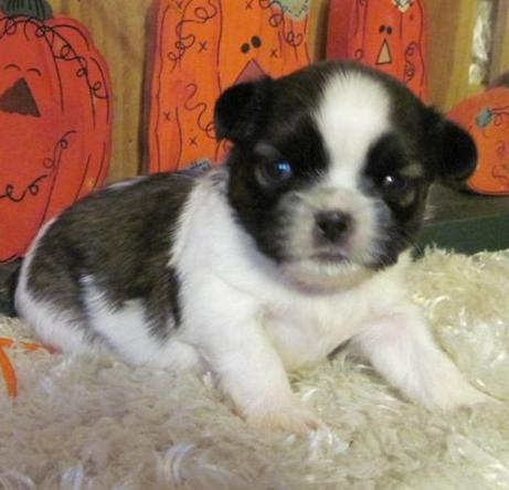 Shih Tzu Puppies For Sale - Dogs for sale, puppies for sale