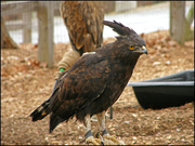 Pair Of Long Crested Eagles Ready For Caring Homes